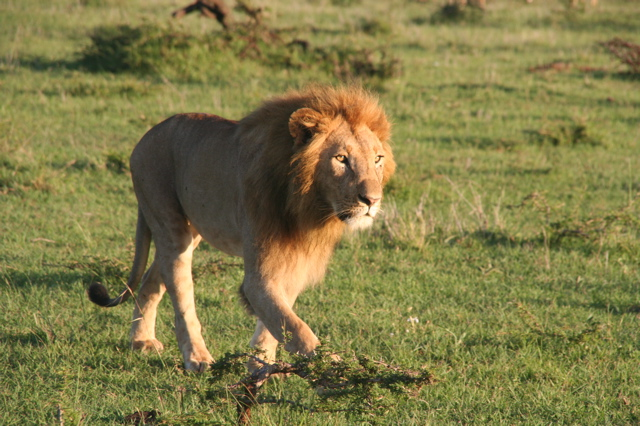 Young Male Lion - Duma African Safari